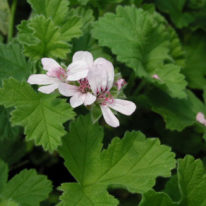 PELARGONIUM Attar of Roses. Scented leaf Rose scent - Woottens