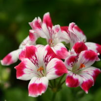 PELARGONIUM Beromunster. Decorative Pelargonium - Woottens