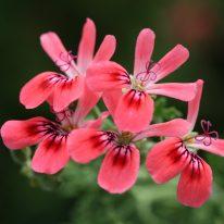 PELARGONIUM Blandfordianum Roseum Scented Leaf - Woottens