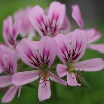PELARGONIUM Graveolens Minor. Scented Leaf Pelargonium - Woottens