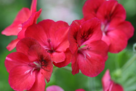 PELARGONIUM Hindoo. Decorative Pelargonium - Woottens