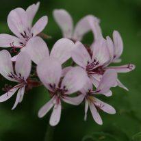 PELARGONIUM Maple Leaf. Scented Leaf Pelargonium - Woottens