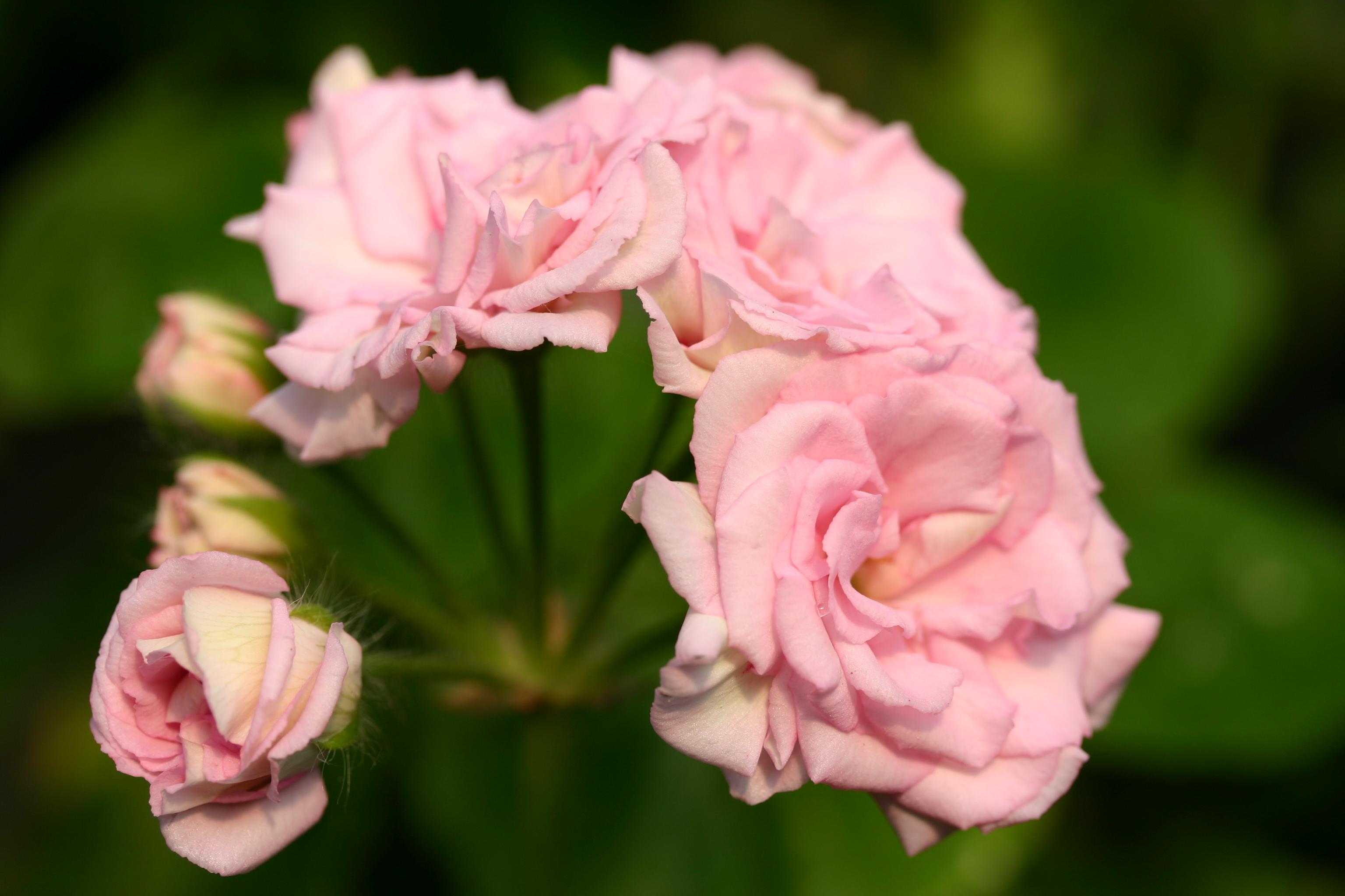 PELARGONIUM Millfield Rose photo