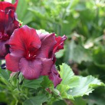 PELARGONIUM Minstrel Boy. Regal Pelargonium - Woottens