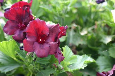 PELARGONIUM Minstrel Boy. Regal Pelargonium - Woottens