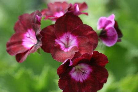 PELARGONIUM Our Gynette. Decorative Pelargonium - Woottens