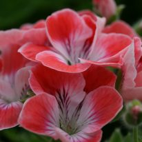 PELARGONIUM Fanny Eden. Regal Pelargonium - Woottens