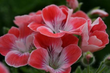 PELARGONIUM Fanny Eden. Regal Pelargonium - Woottens