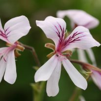 PELARGONIUM Great Glemham Lemon - Woottens