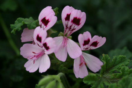 PELARGONIUM Royal Oak. Scented Leaf Pelargonium - Woottens