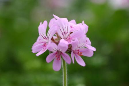 PELARGONIUM capitatum. Rose Scented Pelargonium - Woottens