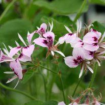 PELARGONIUM cordifolium rubrocinctum - Woottens