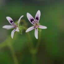PELARGONIUM iocastrum. Species Pelargonium - Woottens