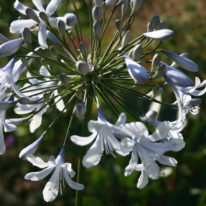 Agapanthus Blue Ice - Woottens Plants