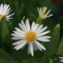 ASTER ageratoides Ashvi - Woottens Plant Nursery