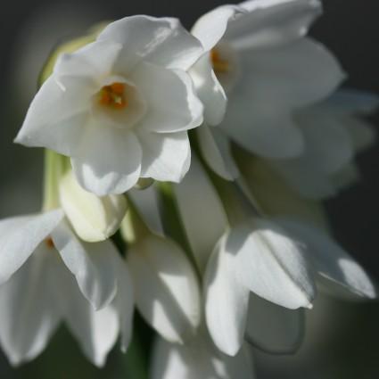 Narcissus Ariel1096