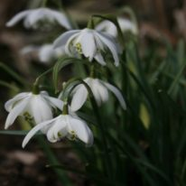SPECIAL OFFER Galanthus nivalis Flore Pleno
