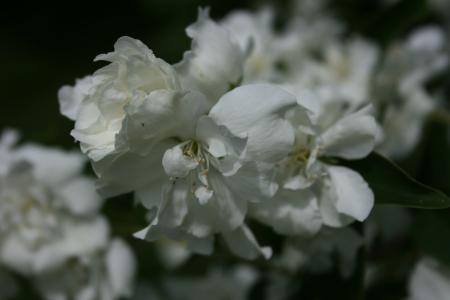 Philadelphus manteau d 39 hermine woottens plants - Philadelphus manteau d hermine ...