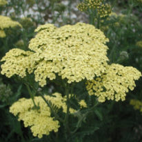 ACHILLEA Credo - Perennial Yarrow - Woottens Plant Nursery