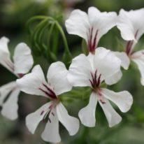 PELARGONIUM Fiesta. Ivy leaf Pelargonium - Woottens Plant Nursery