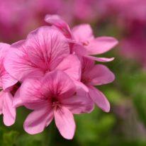 PELARGONIUM Fir Trees Echoes of Pink. Angel Pelargonium - Woottens