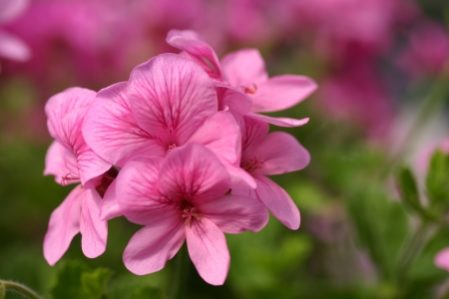 PELARGONIUM Fir Trees Echoes of Pink. Angel Pelargonium - Woottens