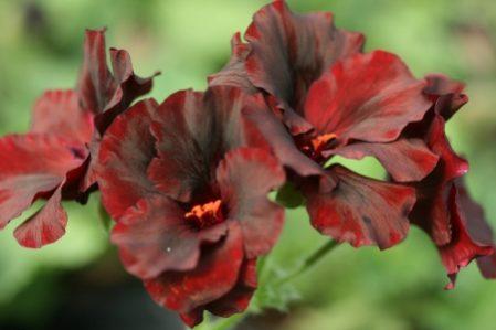 PELARGONIUM Gwendolin. Regal Pelargonium x domesticum - Woottens