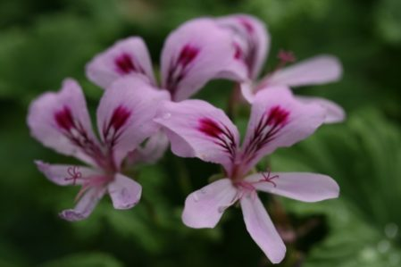PELARGONIUM Orange Fizz. Scented Leaf Pelargonium - Woottens