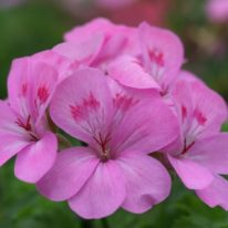 PELARGONIUM Painted Lady. Scented Leaf Pelargonium - Woottens
