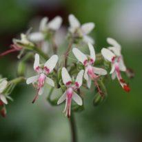 PELARGONIUM crithmifolium. Species Pelargonium - Woottens
