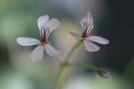 PELARGONIUM quinquelobatum. Species Pelargonium - Woottens