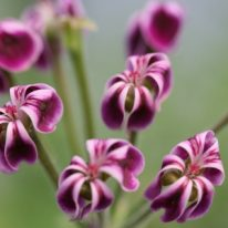 PELARGONIUM x Lawrenceanum. Species Pelargonium - Woottens