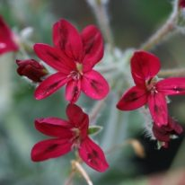 PELARGONIUM x schottii. Species Pelargonium - Woottens Plant Nursery
