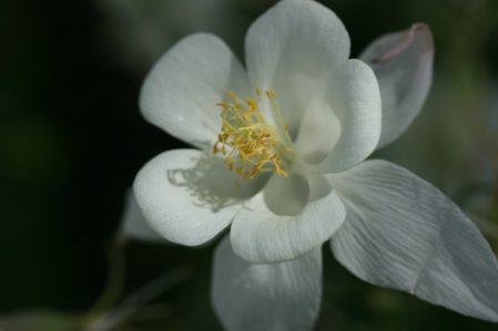 AQUILEGIA Silver Queen - Woottens Plant Nursery