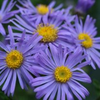 ASTER amellus King George - Woottens Plant Nursery.