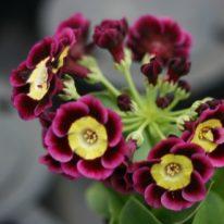 PRIMULA auricula Agamennon - Woottens Plant Nursery.