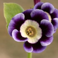 PRIMULA auricula Beatrice - Woottens Plant Nursery Suffolk