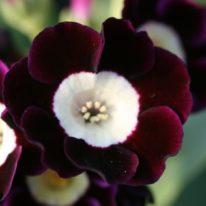 PRIMULA auricula Blue Bonnet - Woottens Plant Nursery Suffolk