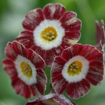PRIMULA auricula Blush Baby- Woottens Plant Nursery.