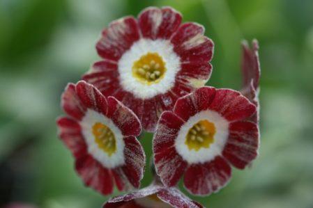 PRIMULA auricula Blush Baby- Woottens Plant Nursery.