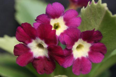 PRIMULA auricula Janet Watts - Woottens Plant Nursery Suffolk.