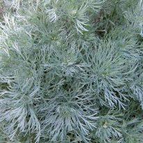 ARTEMISIA schmidtiana Nana - Woottens Plant Nursery