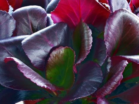 BERGENIA cordifolia Unknown photo