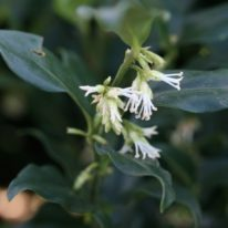 SPECIAL OFFER Sarcococca confusa Winter Box - Woottens Plants