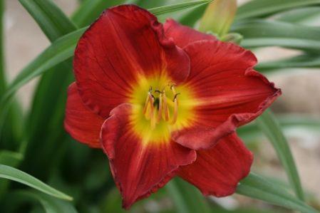 HEMEROCALLIS Scarlet Orbit Woottens Plant Nursery