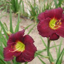 HEMEROCALLIS Troubled Sleep Woottens Plant Nursery
