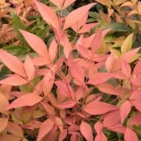 CHRISTMAS GIFT IDEAS Enchanting Winter Shrub - Woottens Plants