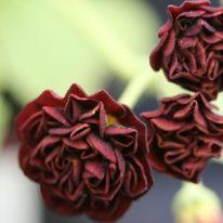 PRIMULA auricula Angustura - Woottens Plant Nursery.