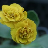 PRIMULA auricula Bonafide - Woottens Plant Nursery.
