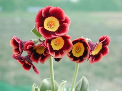 PRIMULA auricula Margot Fonteyn- Woottens Plant Nursery Suffolk